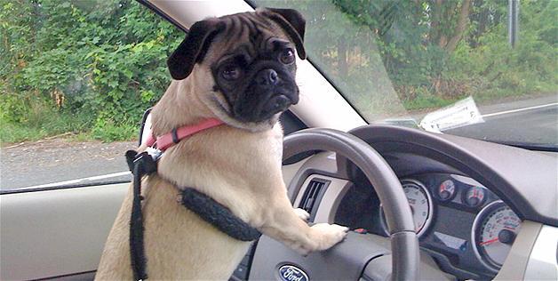 Pug leaves home